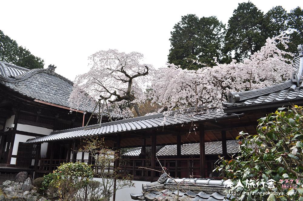 満開!横になって眺める十輪寺の業平桜。(京都)