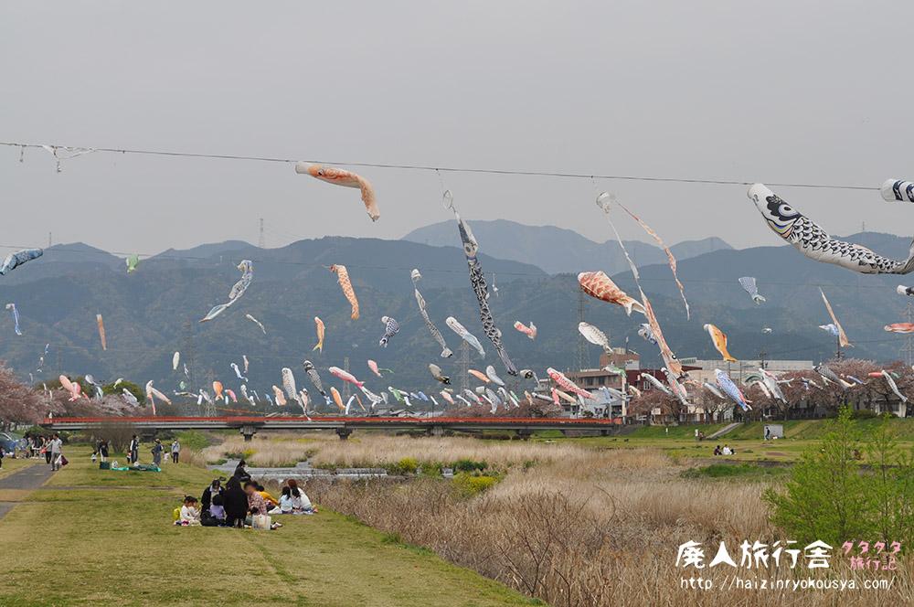 垂井の春の風物詩。300匹もの鯉のぼりと桜のトンネル!(岐阜)