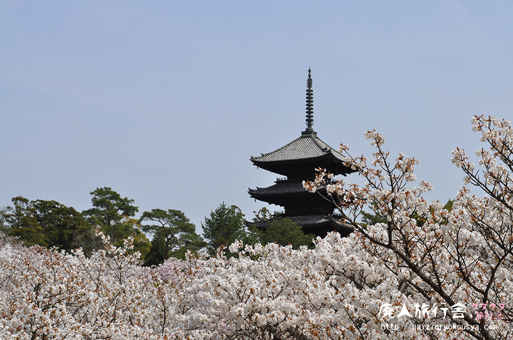 仁和寺に御室桜を見に行った話。(京都)